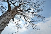 Vertical view of a baobab tree in Angola