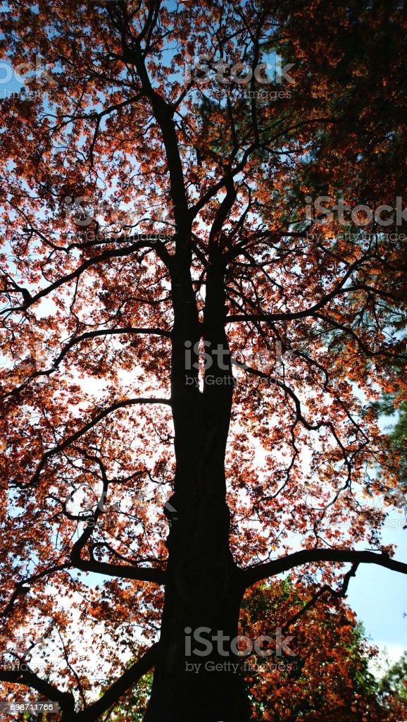Vertical view of a tree with a dark brown trunk and bright leaves and sunshine through the branches stock photo