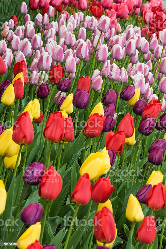 Vertical view of many different colored tulips on garden bed stock photo
