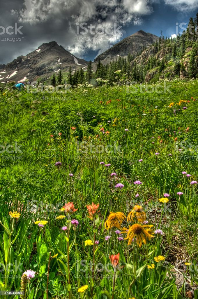 Vertical-Blooming wildflowers in Colorado's Rocky Mountains. stock photo