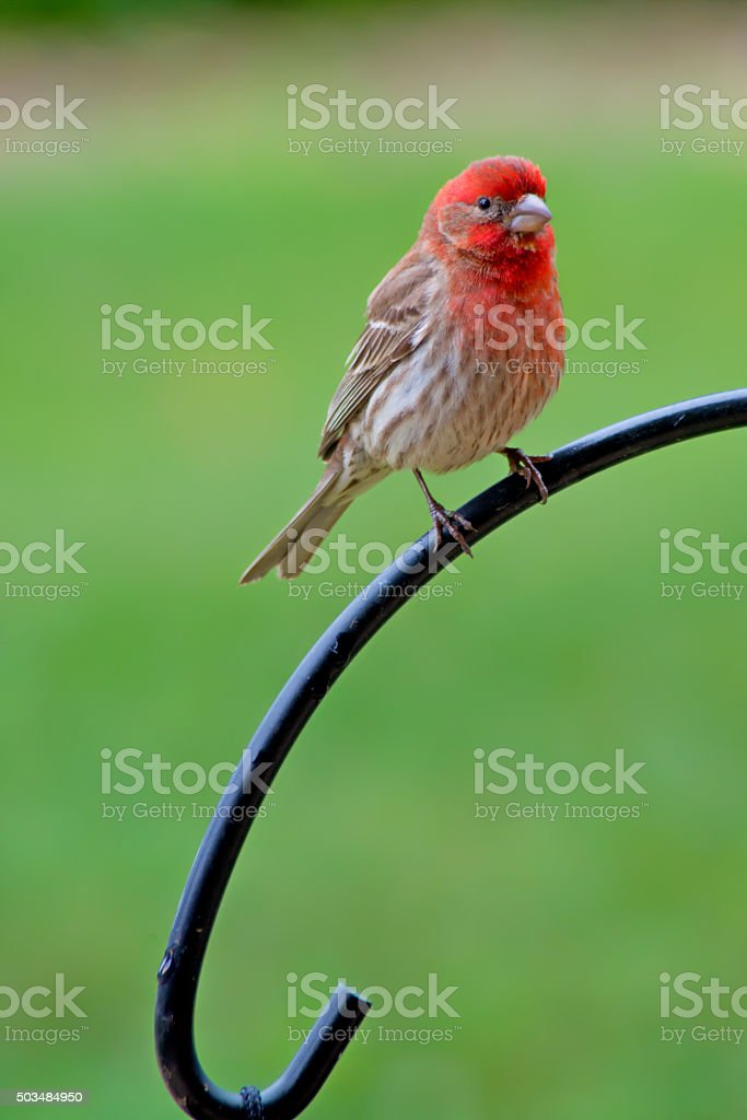 Vertical-Rosy Fitch sitting on an iron rail. stock photo