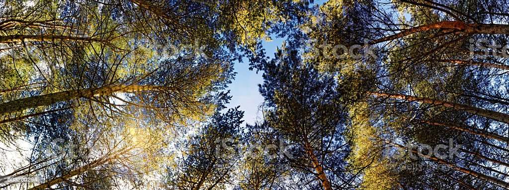 Vertorama with crowns of the pines on the sky. stock photo