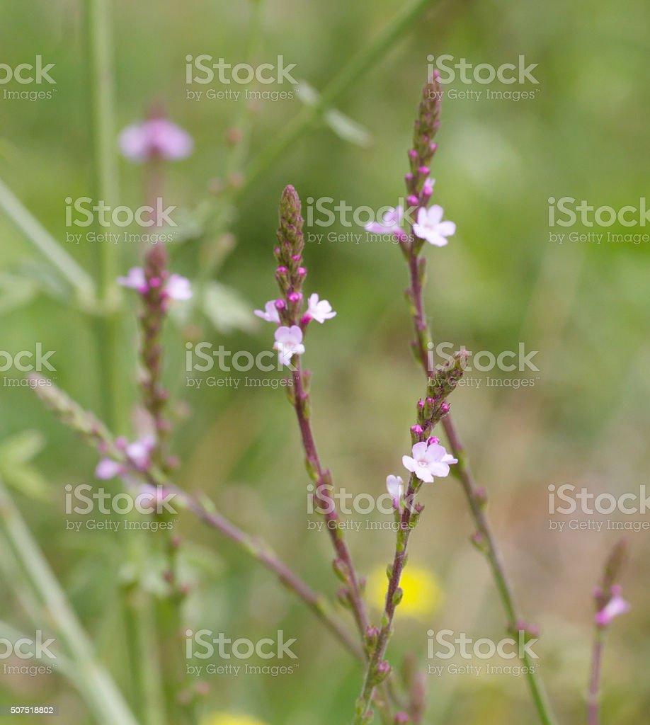Vervain (Verbena officinalis) stock photo