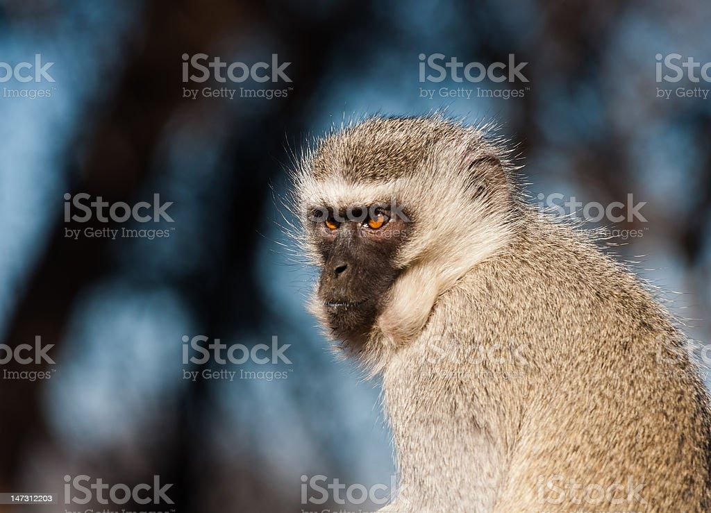Ververt Monkey w tle super zbiór zdjęć royalty-free