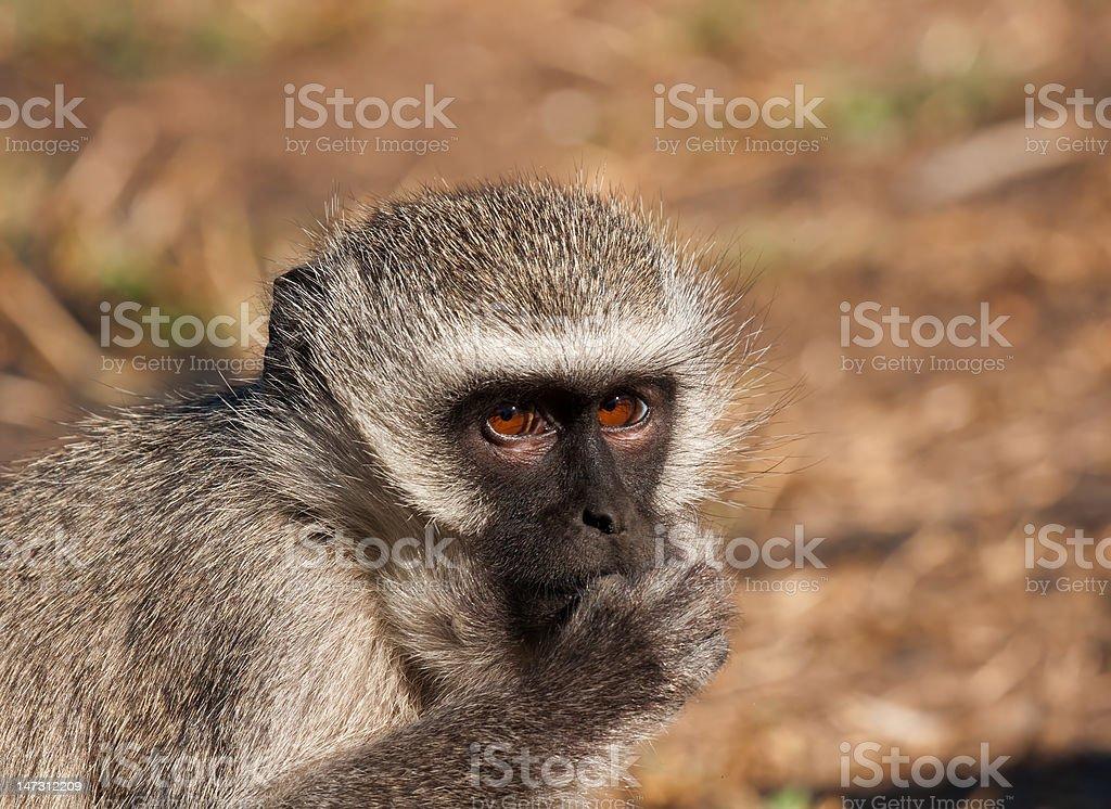 Ververt Monkey zbiór zdjęć royalty-free