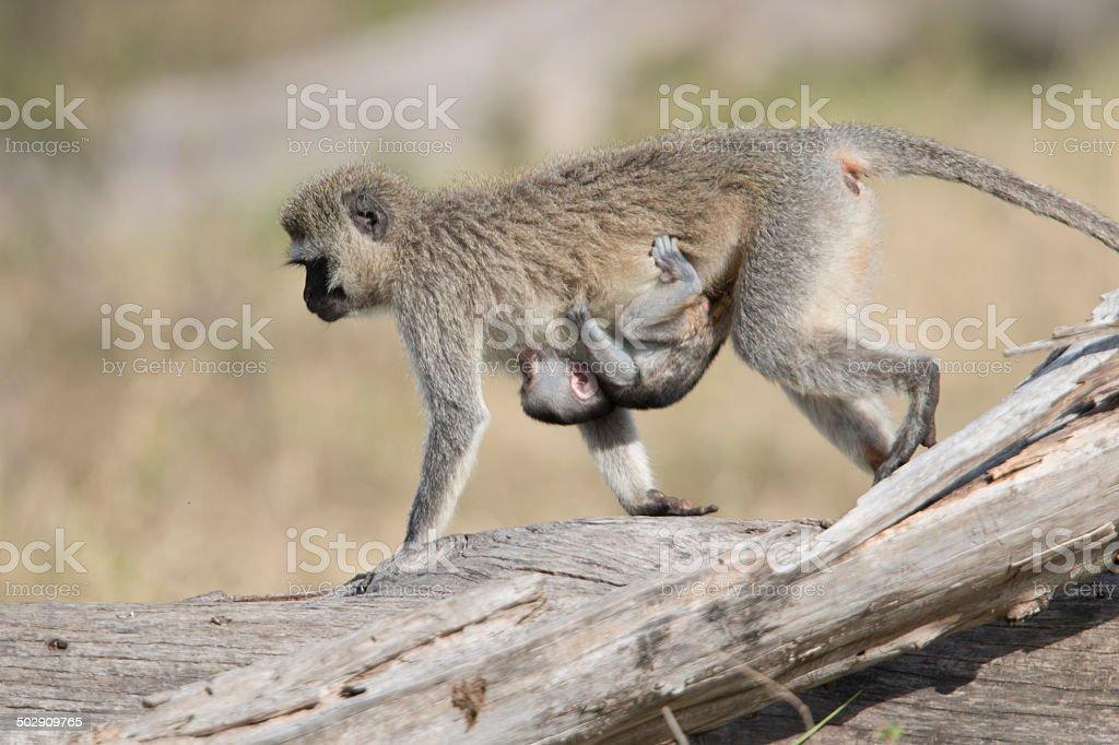 Vervet monkey carrying child, Masai Mara , Kenya royalty-free stock photo