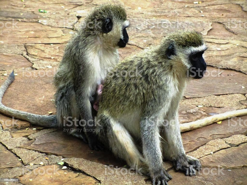 Vervet monkey, Chlorocebus pygerythrus in  Kenya stock photo