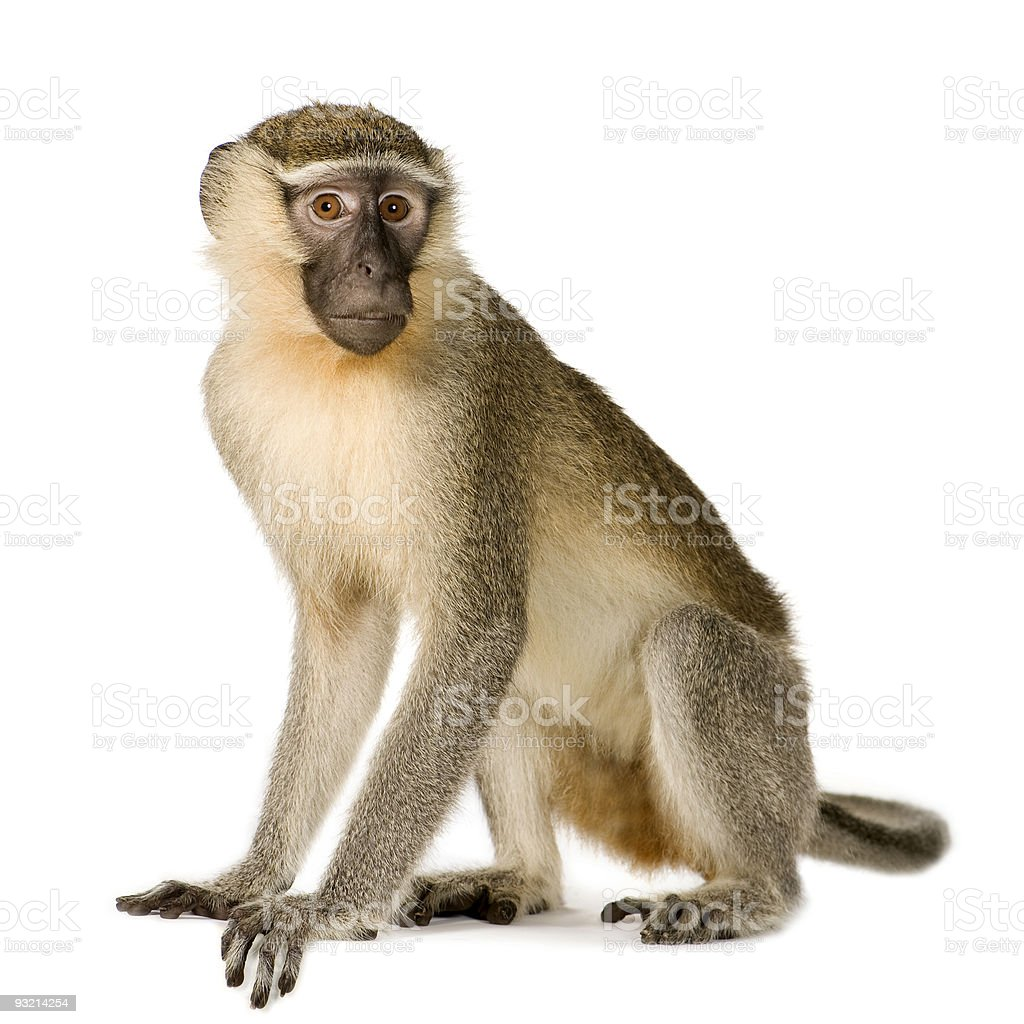 Vervet Monkey - Chlorocebus pygerythrus stock photo