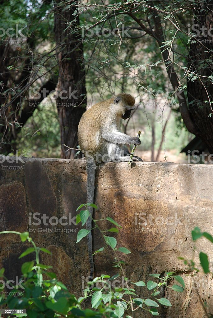 Vervet Monkey Eating royalty-free stock photo