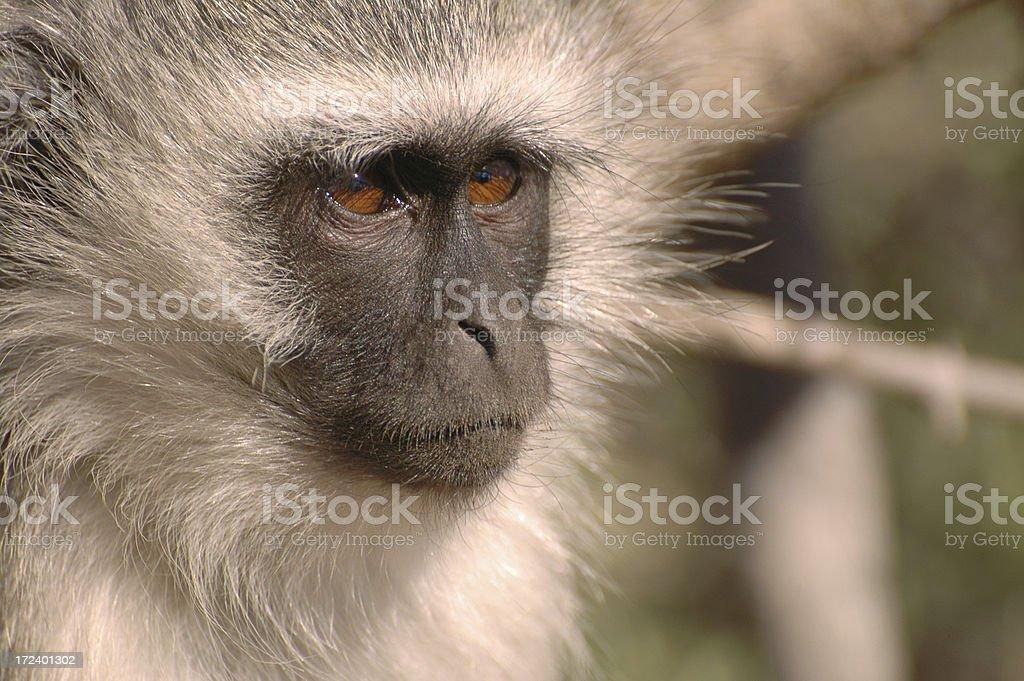 Vervet Monkey Face royalty-free stock photo