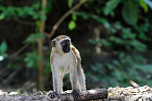 Vervet monkey in national park of Kenya