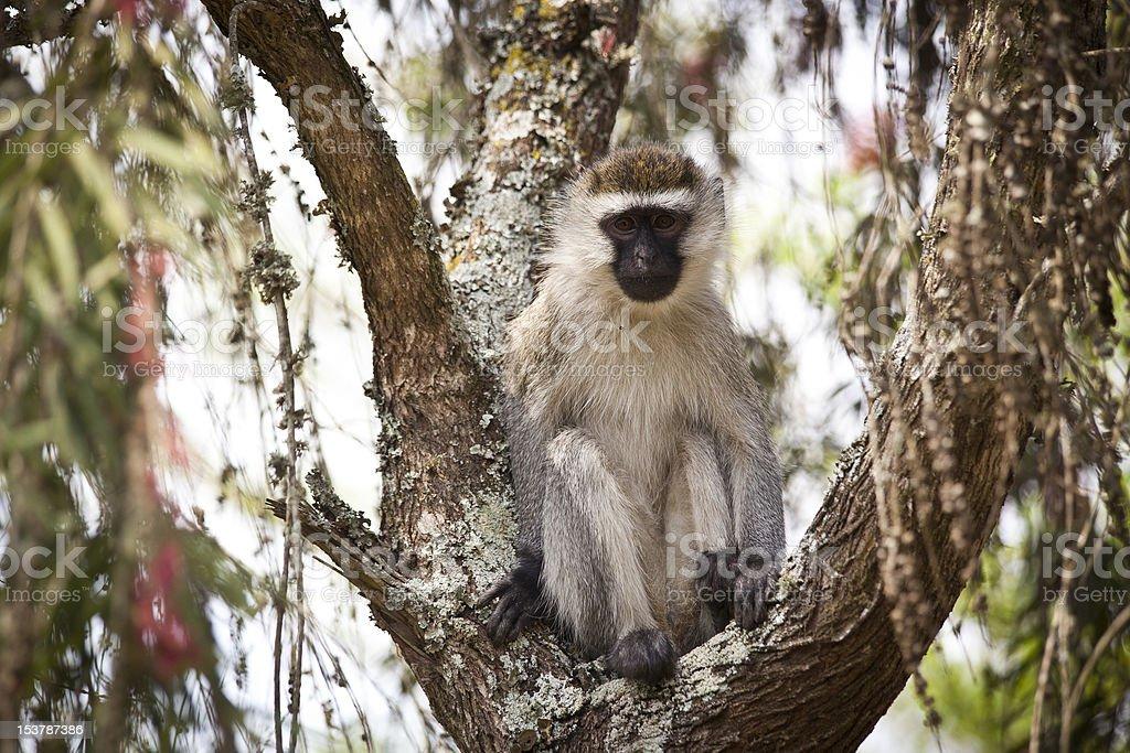 Macaco-Vervet sentado numa árvore foto de stock royalty-free