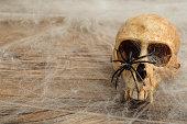 Vervet monkey skull covered with cobwebs