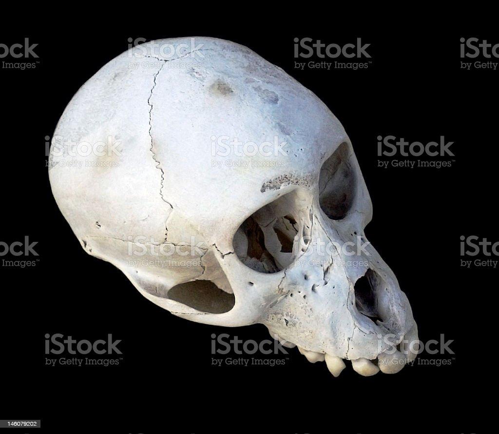 Vervet monkey Skull royalty-free stock photo