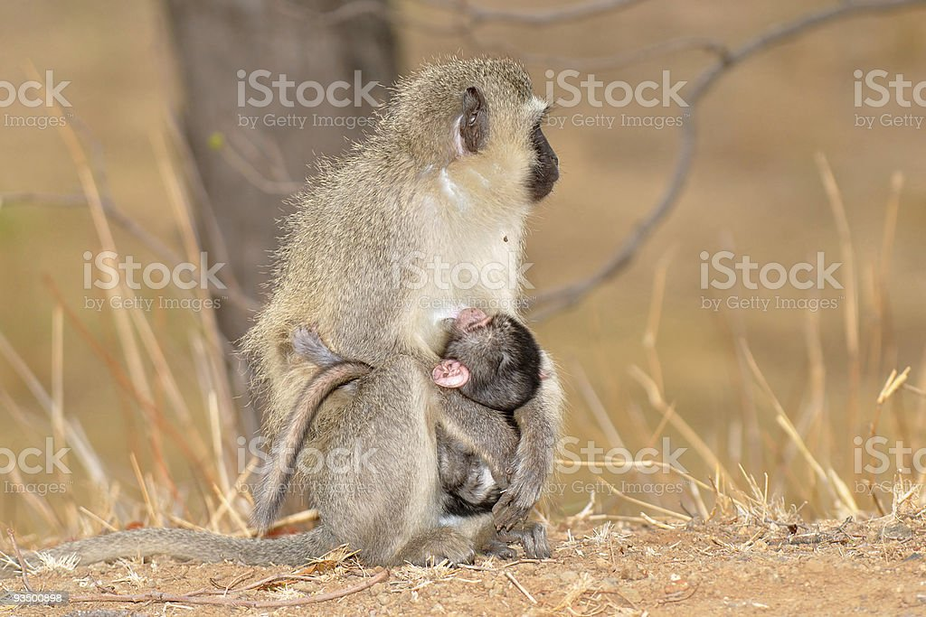 Vervet monkey with baby,Kruger NP,South Africa royalty-free stock photo