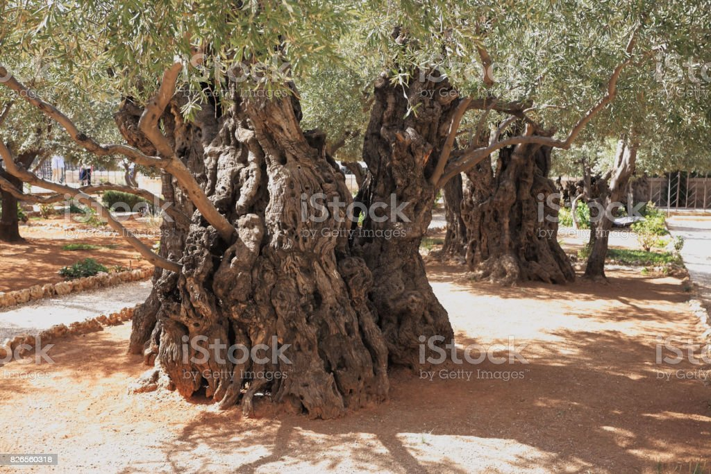 Very ancient olive trees in the Gethsemane stock photo