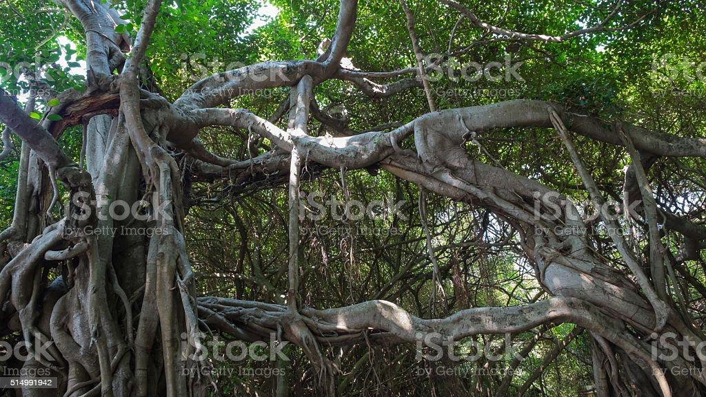 Sehr große Banyan Baum im Dschungel, Baum des Lebens Lizenzfreies stock-foto