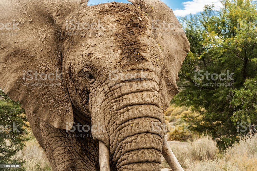 Very Close Up of an African Elephant royalty-free stock photo