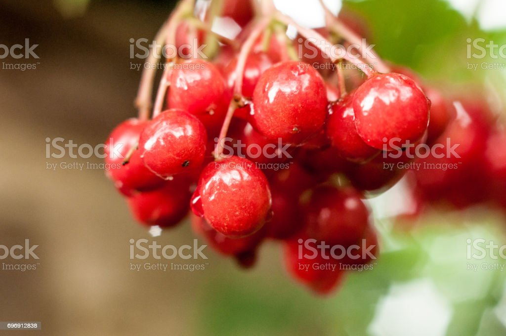 A very close view on the branch of red gorgeous arrowwood berries with wet surface stock photo