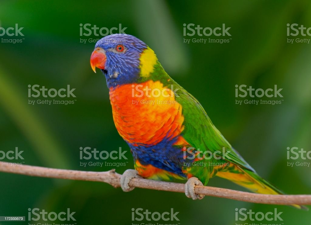 A very colorful lorikeet bird resting on a small branch stock photo