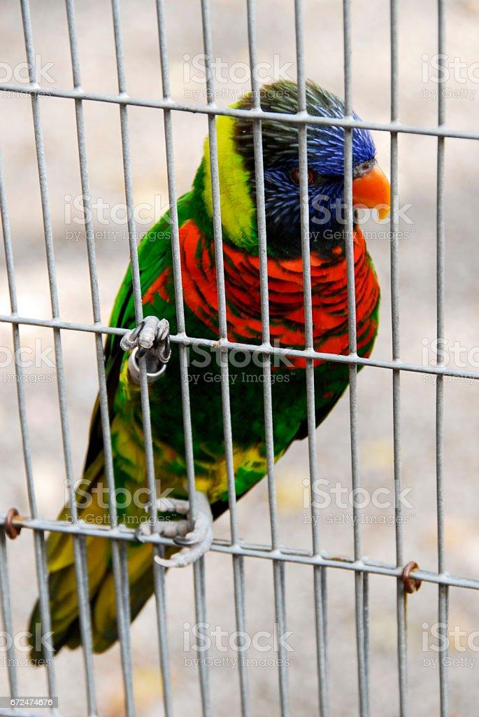 A very colorful Rainbow Lorikeet stock photo