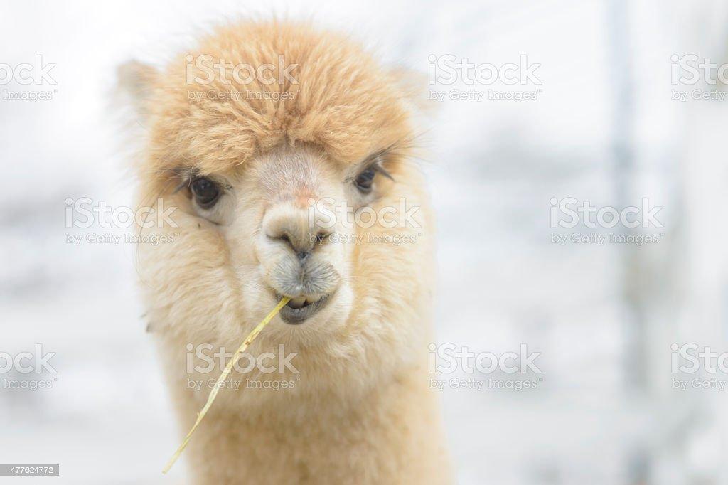 Very cute alpaca stock photo