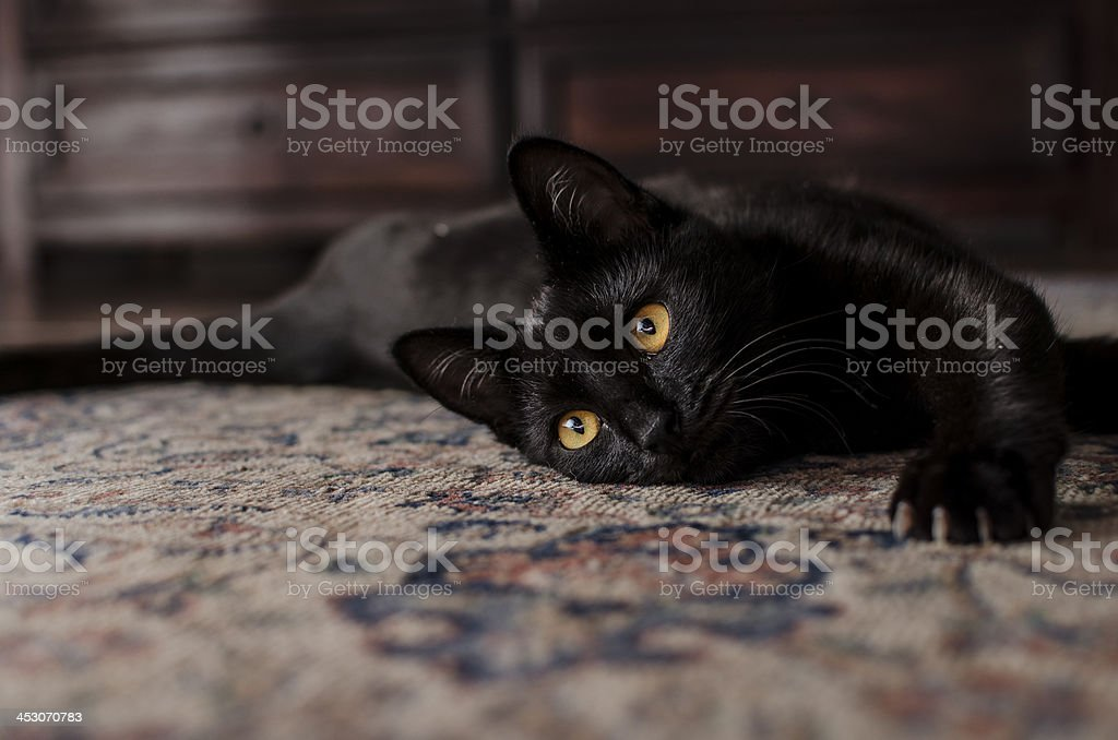 Very cute black cat playing on the carpet stock photo