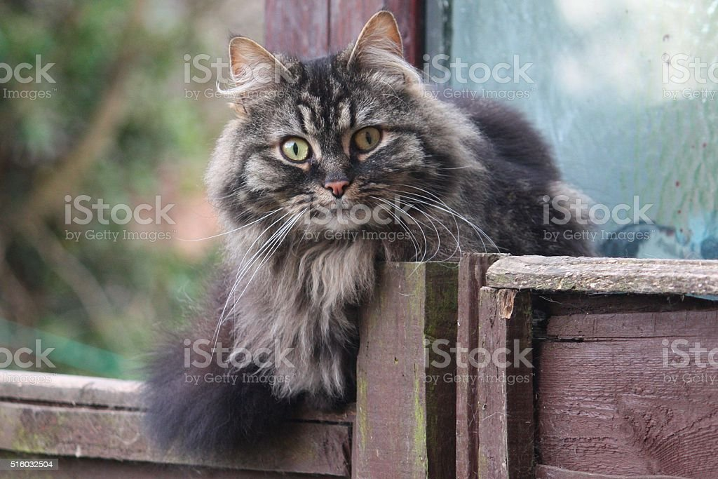 very cute long haired brown and black tabby pussycat stock photo
