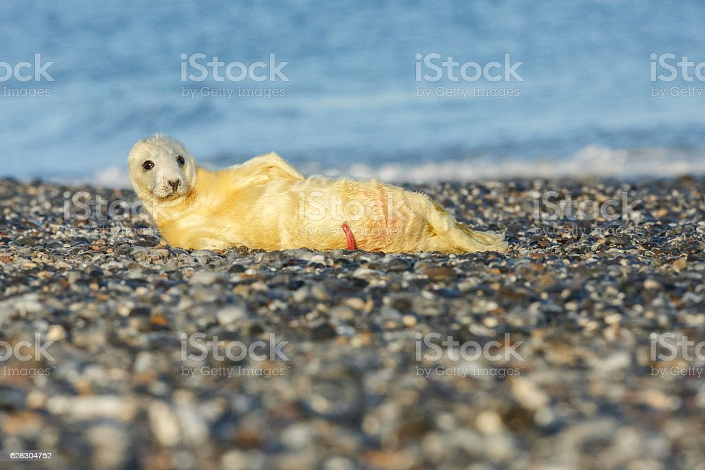 very cute seal on the beach on düne island stock photo