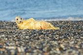 very cute seal on the beach on düne island