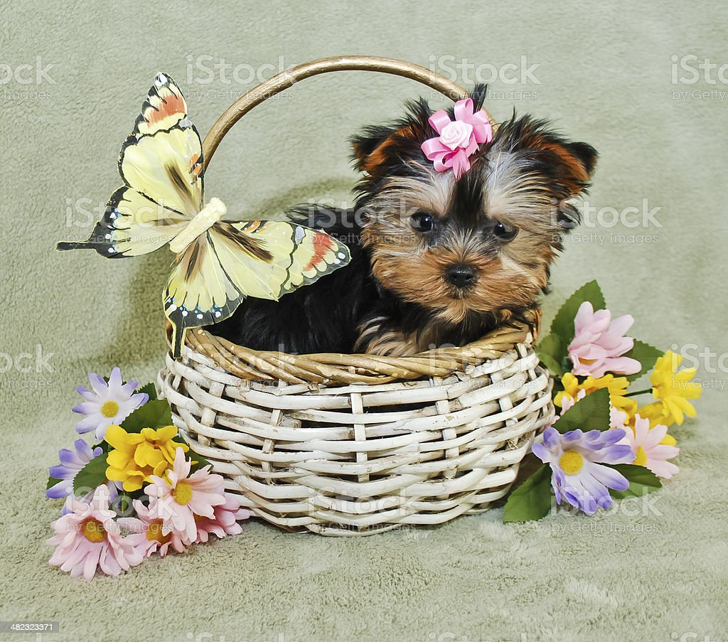 Very Cute Yorkie Puppy stock photo
