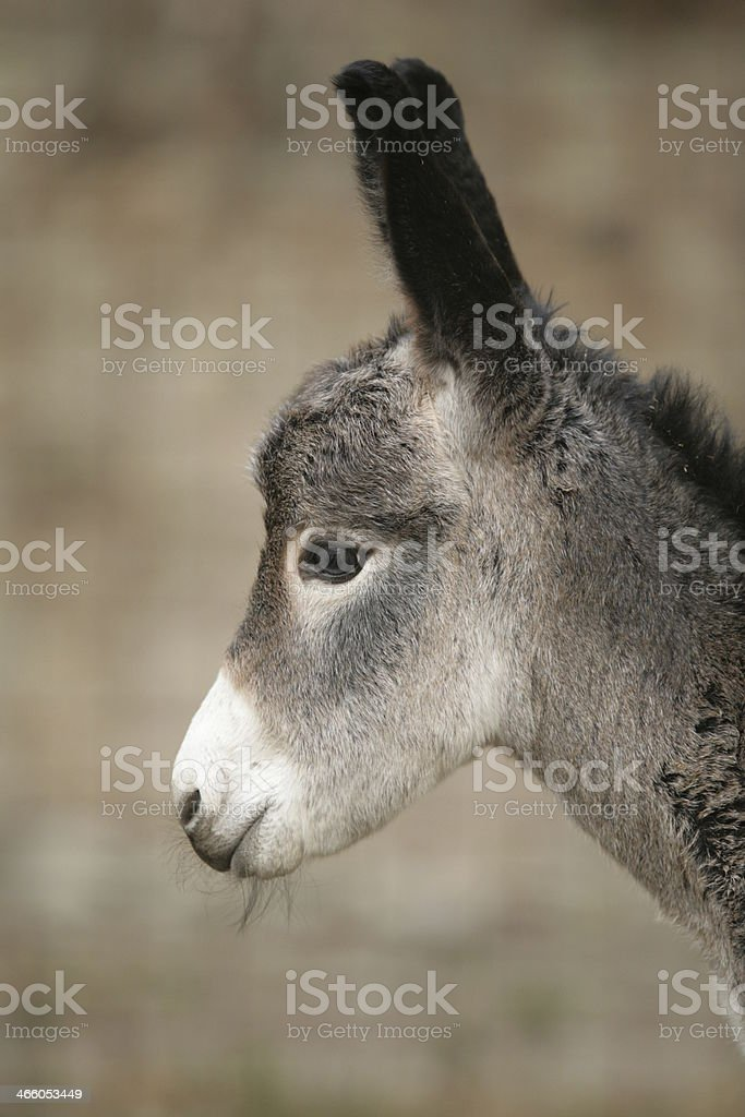 very cute young donkey royalty-free stock photo