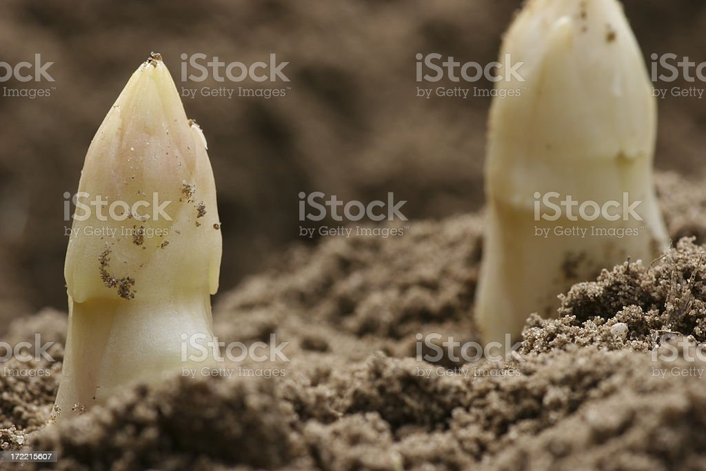 very fresh asparagus royalty-free stock photo