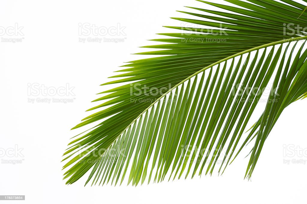 A very green leaf of a Palm tree with a white background stock photo