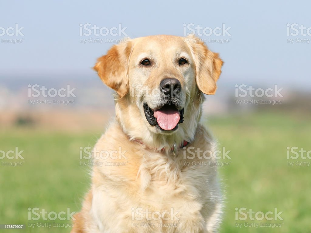 A very happy Golden Retriever seeing his master royalty-free stock photo