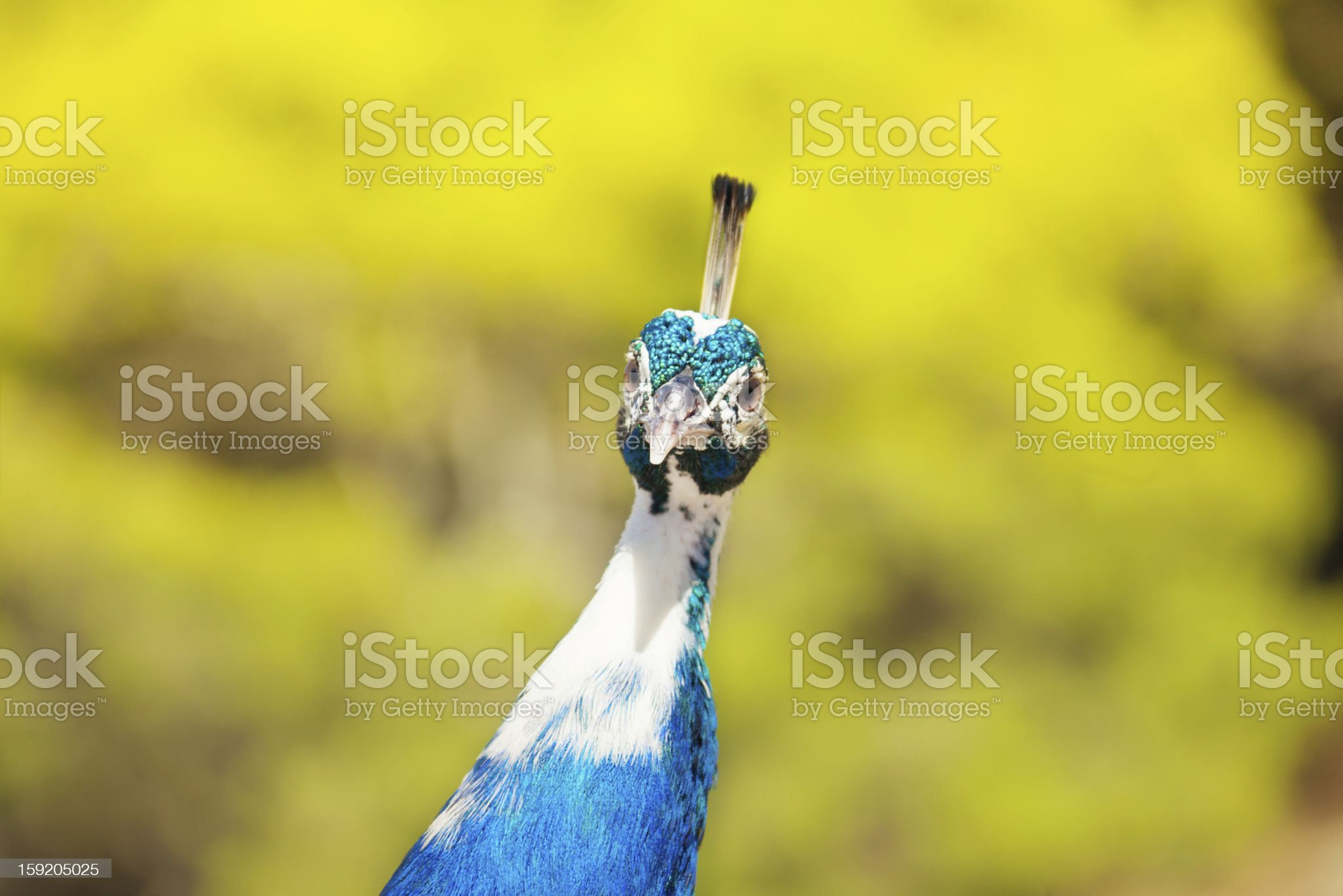 Very interested peacock royalty-free stock photo