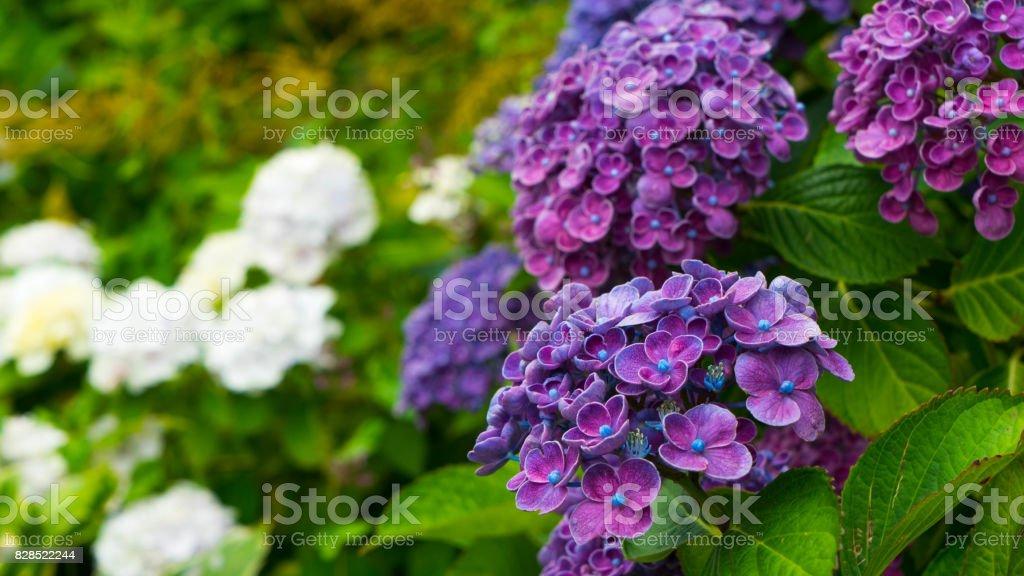 Very interesting flowers of purple hydrangeas. stock photo