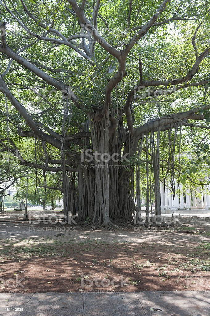 very large and old ficus tree in downtown havana, cuba royalty-free stock photo