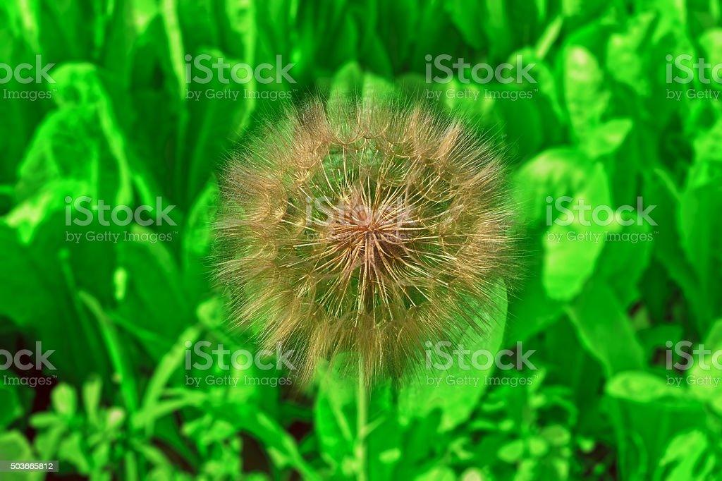 very large dandelion royalty-free stock photo