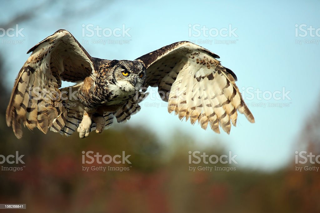 A very large owl prepared for landing on the ground stock photo