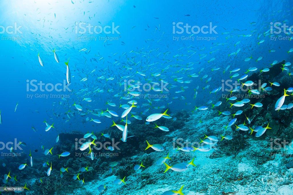 Very Large School of Fusiliers, Fish Paradise Raja Ampat, Indonesia stock photo