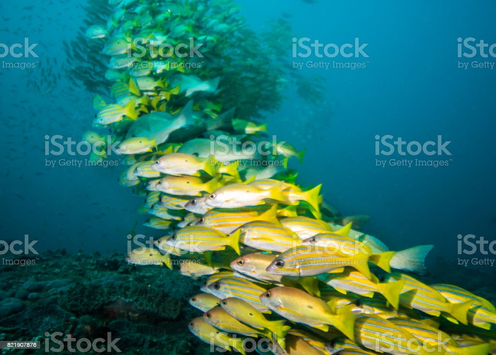 Very large school of Snappers stock photo