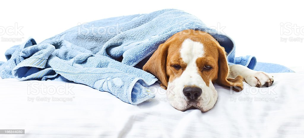 Very much sick dog royalty-free stock photo