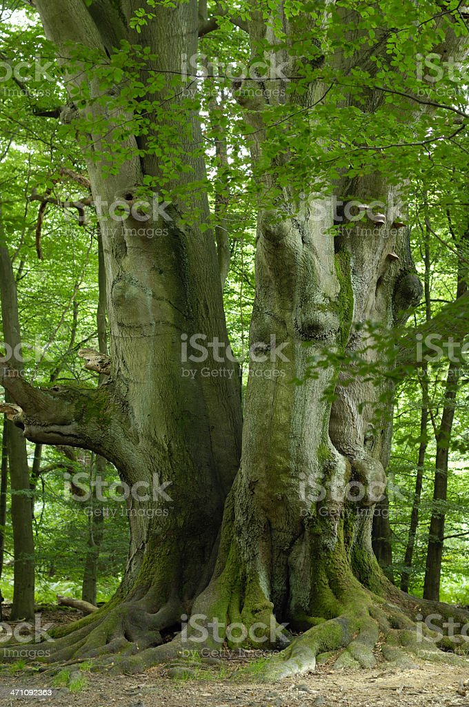 very old beech in the forest stock photo