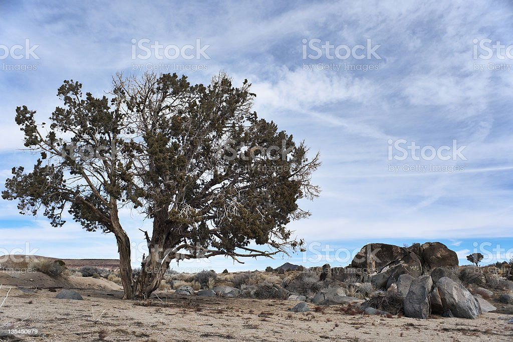 Very Old Bristle Cone Pine at High Altitude stock photo