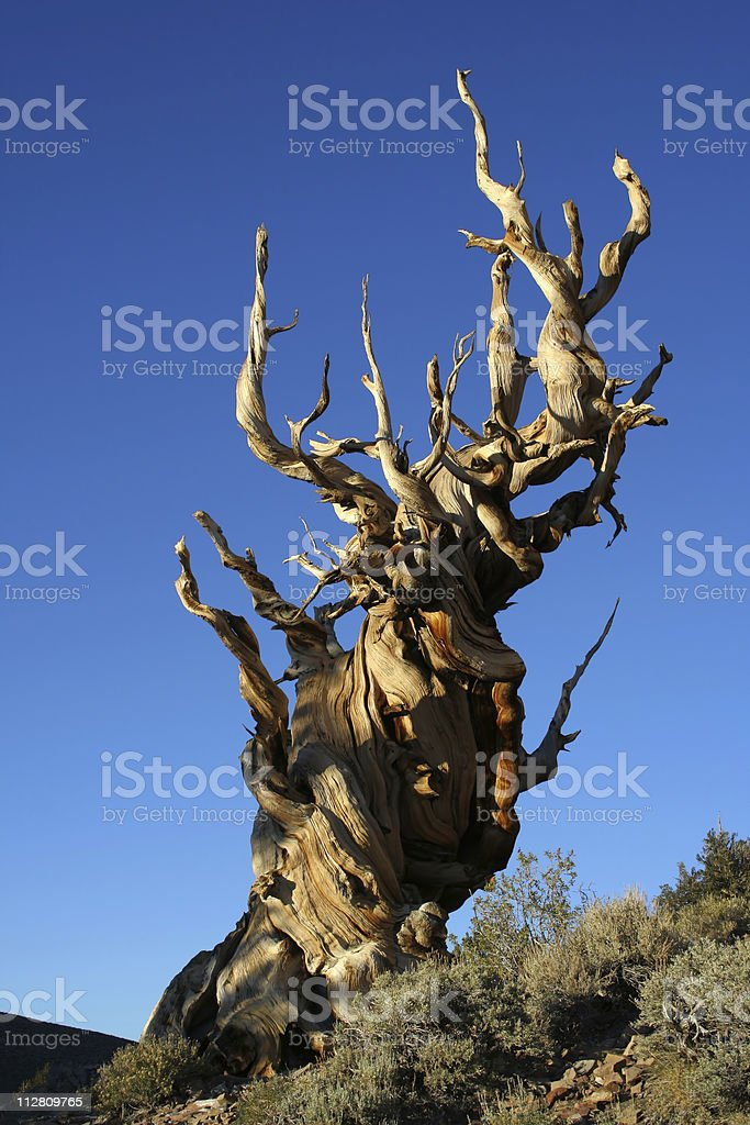 Very old bristlecone pine royalty-free stock photo