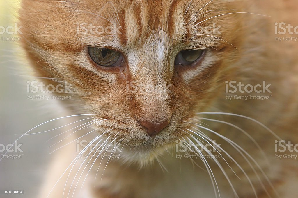 Very Old Cat royalty-free stock photo