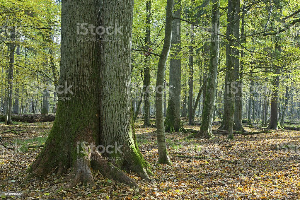 Very old deciduous stand in autumn royalty-free stock photo