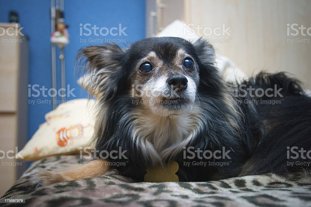 Very old dog royalty-free stock photo