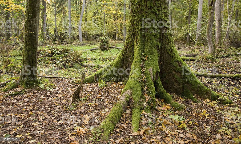 Very old oak moss wrapped butt stock photo